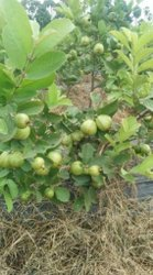 Hisar Safeda Guava Plant