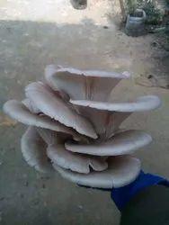 Tripura Brown Oyester Mushroom Spawn, Packaging Type: Polythene Bag
