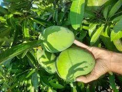 Labline Benishan (banganaplli) Banishan Mangoes, Crate, Packaging Size: 20 Kg