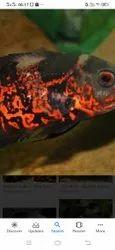 Oscar AQUARIUM FISH