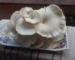 Oyester Mushroom Fresh