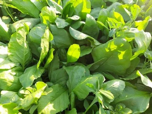 A Grade Green Spinach, Packaging Size: Loose