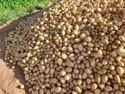 Pokharaj A Grade Potato, Packaging Type: Cotan bag, Packaging Size: 50 Kg