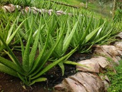 Barbadenisis miller Fresh Aloe Vera Seeds, For Medicine & Herbal Cosmetics, Rajasthan, India