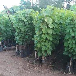 Green Vatis Venifera Grapes Nursery Plant, Packaging Type: Bag