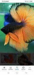 Fighter Betta Fish, Size: Multi Colour