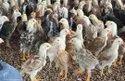 Nadan Kozhi Kunjungal Chicks