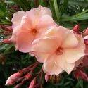 全阳光曝光Dianthus Kaner植物,包装类型:种植园类型,冬季