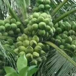 A Grade Solid Green Tender Coconut, Coconut Size: Large
