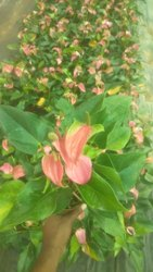 Imported Pink Anthurium Flowering Plant, For Outdoor