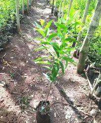 Sandalwood Nursery Plants Near