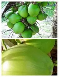 A Grade Watered Fresh Green Coconut, Coconut Size: Large