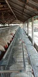 BV 300 Pullet Bird Ready For Sale