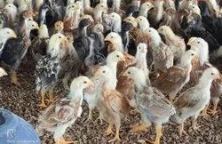 Poultry Farm Chicks & Country Chicken