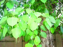 Natural Piper Nigrum Peepal Plant, For Plantation