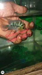 Red Dragon Flowerhorn Fish