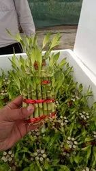 Green 2 Layer Lucky Bamboo Plant, For Decoration