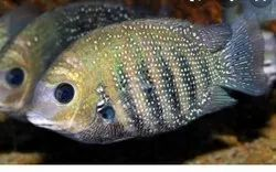 CICHLID FISH, For AQUARIUM, Packaging Type: Thermocol