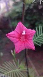 AN Gardens Natural Cypress Vine Seeds, Packaging Type: Plastic