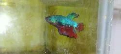 Male Betta Placard Fish For Home