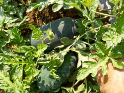 Hybriead A Grade Fresh Watermelons, Packaging Size: Truck loading transportation