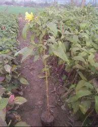 Tecoma Stans Green Tikoma Plant, For Garden, Packaging Type: Bag