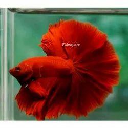 Full red ohm betta breeding pairs, 2year, Size: 5cm