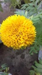 Natural Hybrid Yellow Marigold Seeds For Sowing, Packaging Type: Plastic Cover