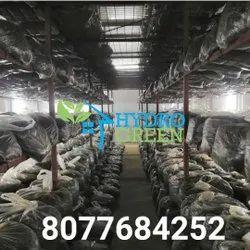 Button Mushroom Farming, 1000