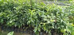 自然香榄Bokul植物,园林