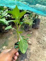 Round Plastic Naga King Chilli Plant, For Fruits