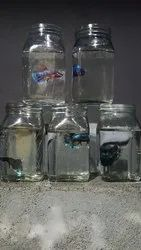 Imported Betta Fishes, Size: 2 Inch Plus