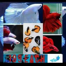 Red Full Moon Betta Fish, Packaging Type: Thermocol, Size: 5 Cm
