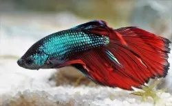 Fighter Betta Fish, Size: 1.5 Inch