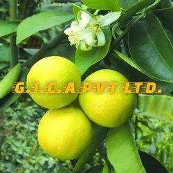 Sweet Lemon Plants