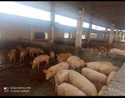 Pig Farm Consultancy Services