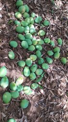 Kesar Mango nursery Plants Sangareddy