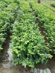 Fast Growth Chilbil Plants, For Fruits, Packaging Type: Bag
