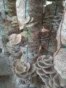 Fresh Oyester Mushroom, Packaging Type: Plastic Bag