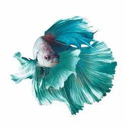 Multicolor Ohm Betta Fish, Size: 2