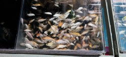 White Milky Koi Fish, 1 Years, Size: 3 Inches