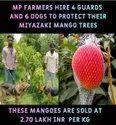 Miyazaki Mango Plant