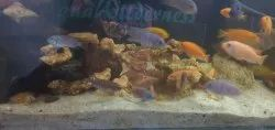 Exotic Cichlids, 2 Years, Size: 1