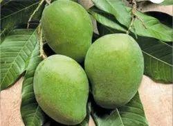 Organic Fresh Green Bhanginapalli Mangos