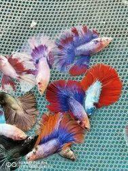 Betta Fish Wholesale, Size: 5 To 6 Cm