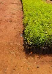 Sandalwood Seeds And Plant