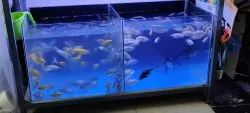 Black Kissing Gourami Fish, 1 Year, Size: 3 Inches