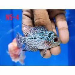 Flowerhorn Fish Baby