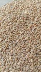 50 Kg Wheat