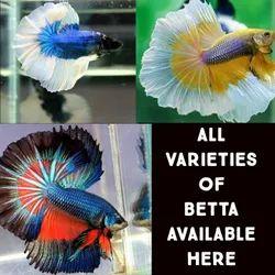 Betta Fish, 3 - 5 Years, Size: 2 Inch